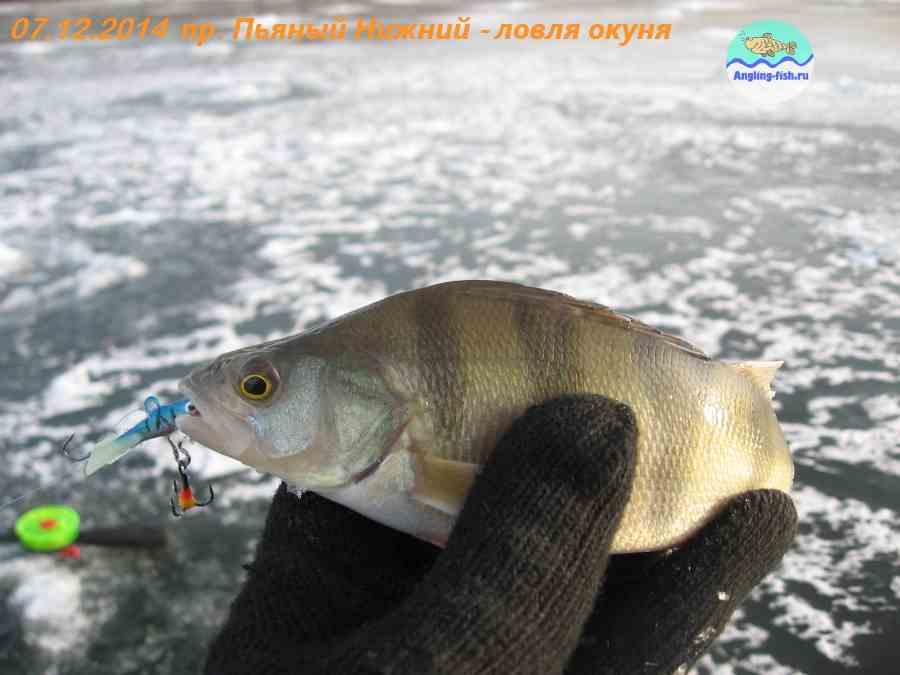 Ловля окуня зимой на мормышку и балансир + видео