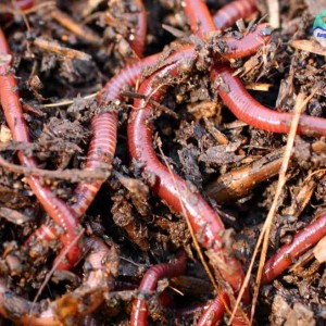 Разведение навозного червя