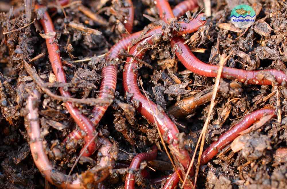 Навозный червь: разведение навозных червей в домашних условиях